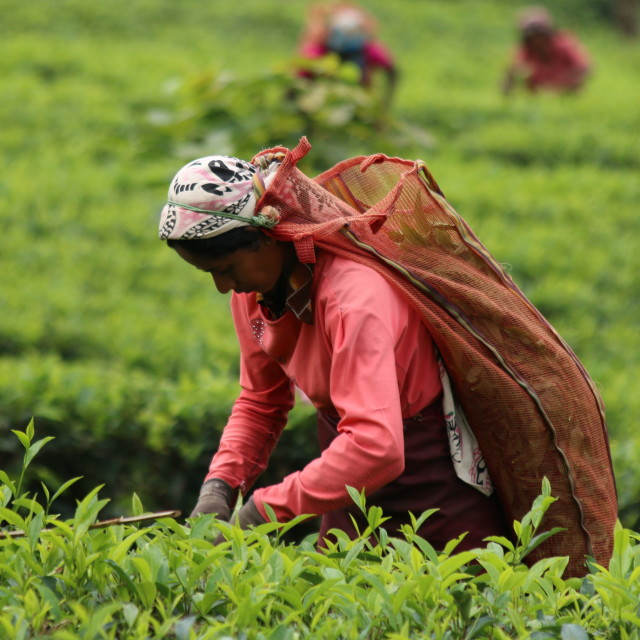 """Picking tea leaves"" stock image"