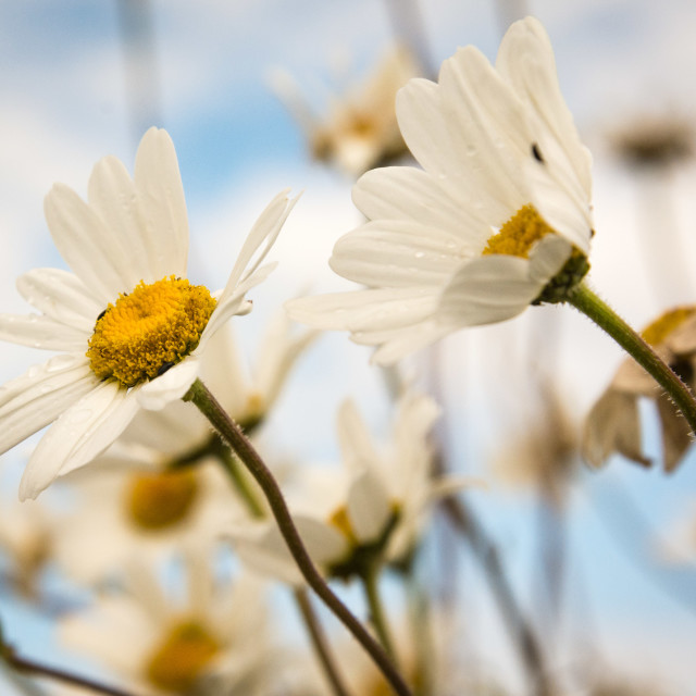 """Ox-eye daisies"" stock image"