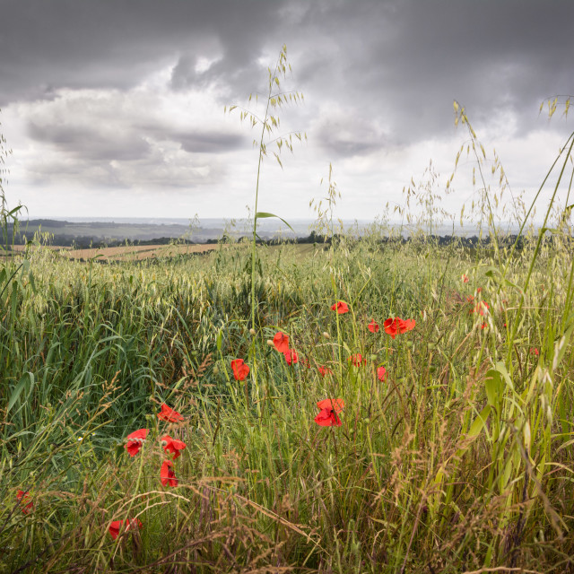 """Stormy poppies"" stock image"
