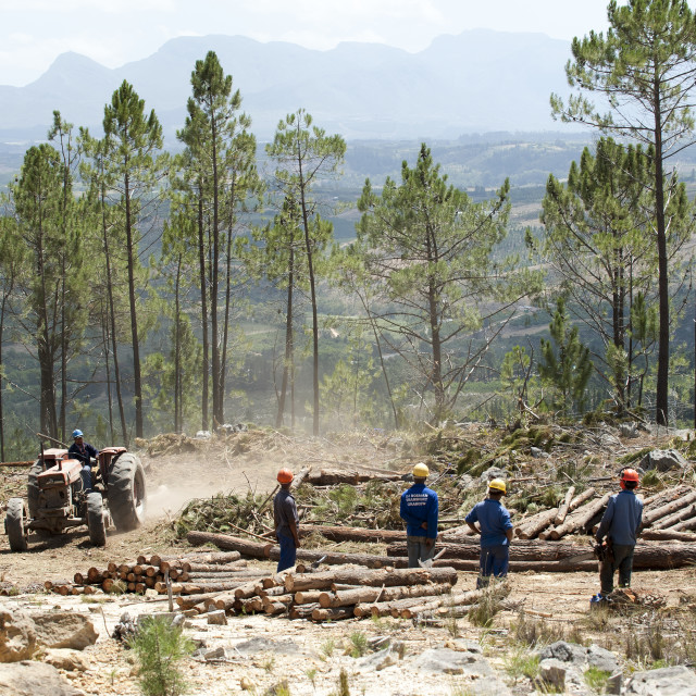 """""""Woodcutters felling trees South Africa"""" stock image"""