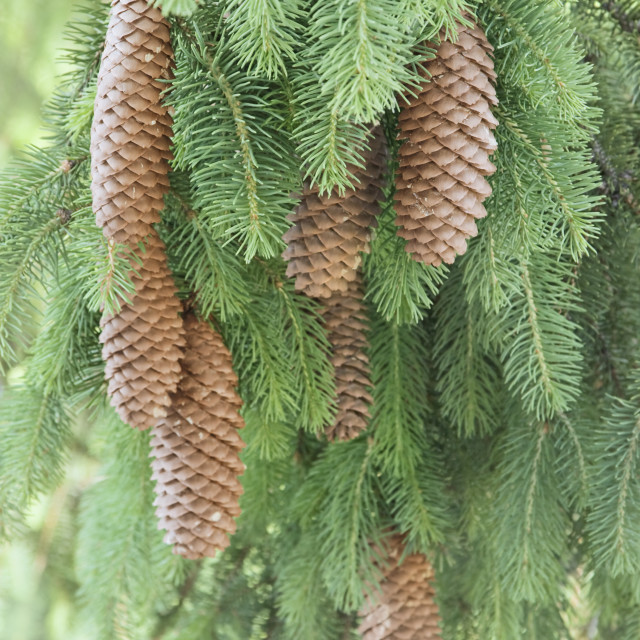"""Spruce Tree Cones"" stock image"