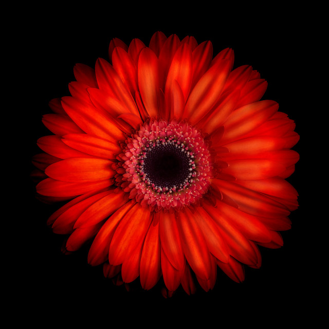 """Gerbera Daisy on Black Background"" stock image"