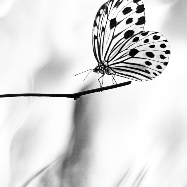 """The Paper Kite Butterfly in B&W"" stock image"
