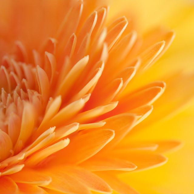 """Yellow Gerbera Daisy"" stock image"