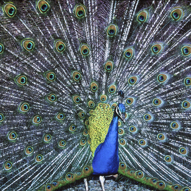 """Peacock Display"" stock image"