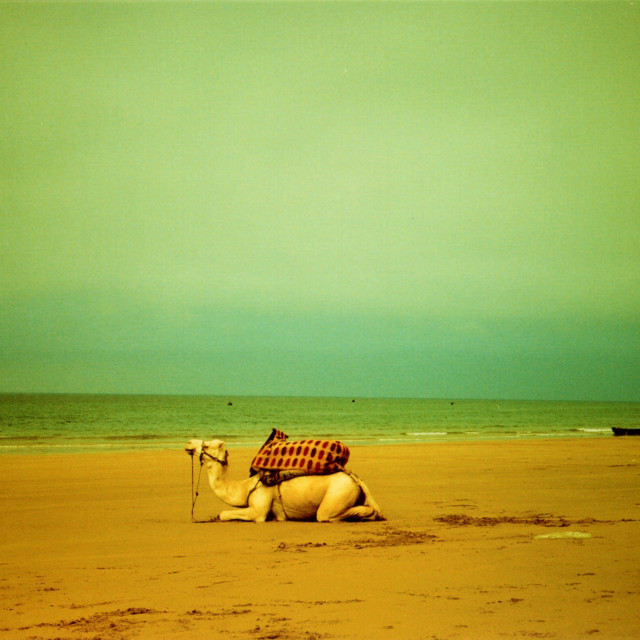 """Beach Camel"" stock image"