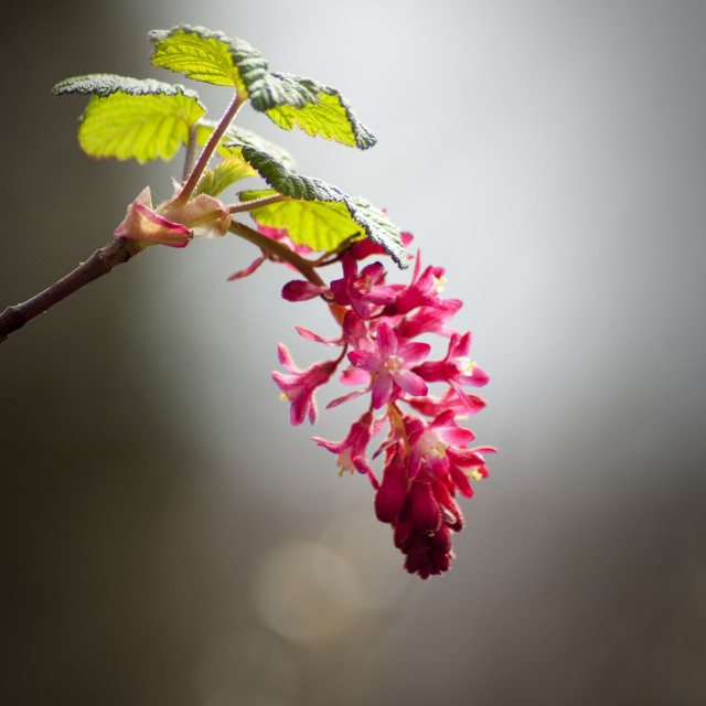 """Flowering Currant"" stock image"