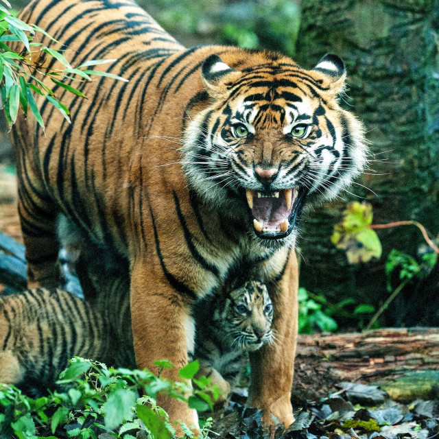 """Tiger and Cub"" stock image"
