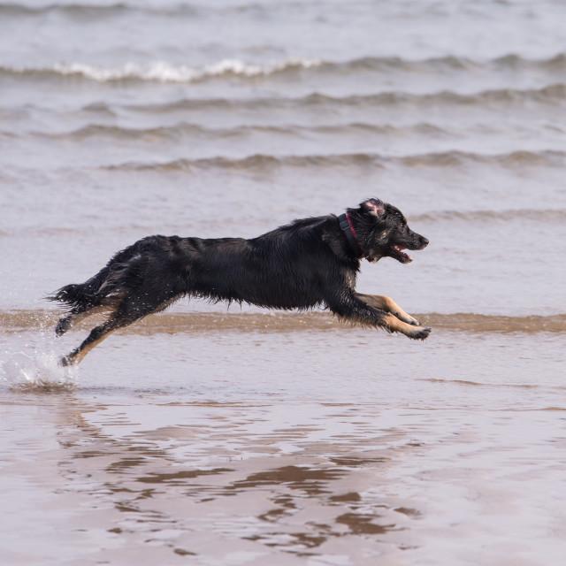 """Dog running on the beach"" stock image"