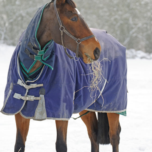 """Thoroughbred Horse Eating Hay in Snow"" stock image"