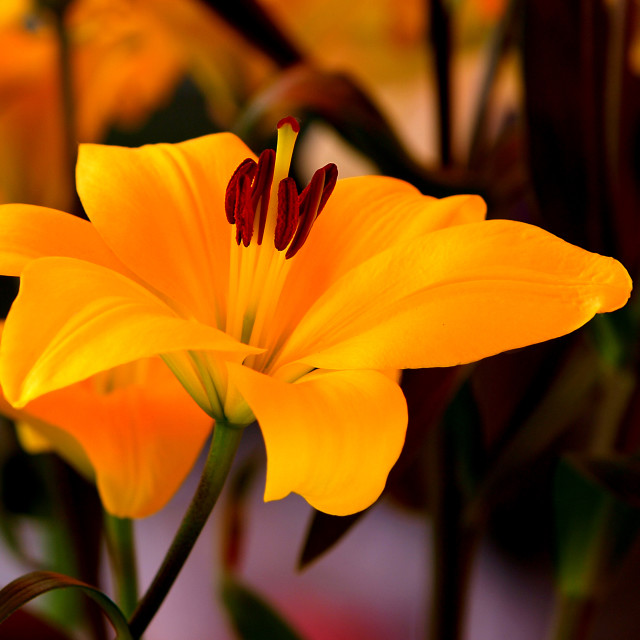 """lily flower"" stock image"