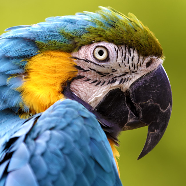 """Blue and Yellow Macaw (Ara ararauna)"" stock image"