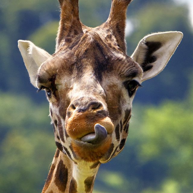 """Rothschild Giraffe (Giraffa camelopardalis rothschildi)"" stock image"
