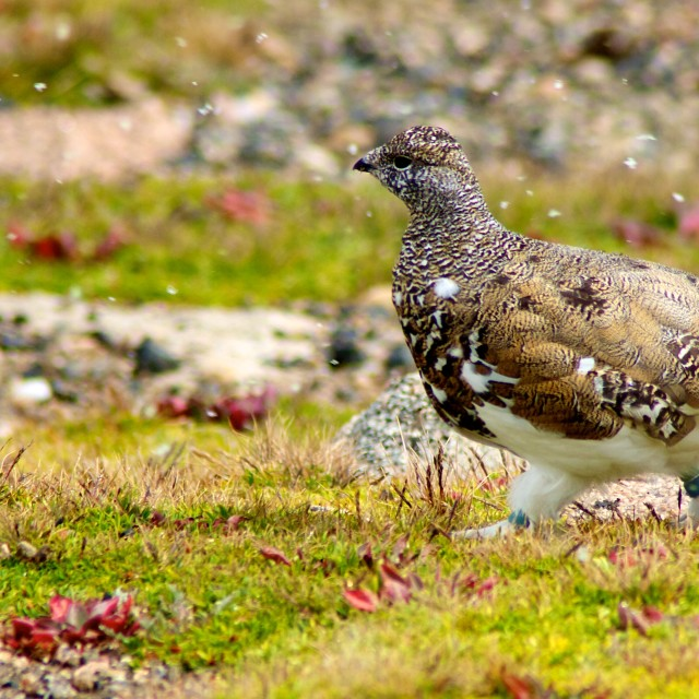 """Ptarmigan"" stock image"