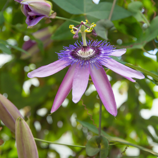 """Passion flower Passiflora"" stock image"