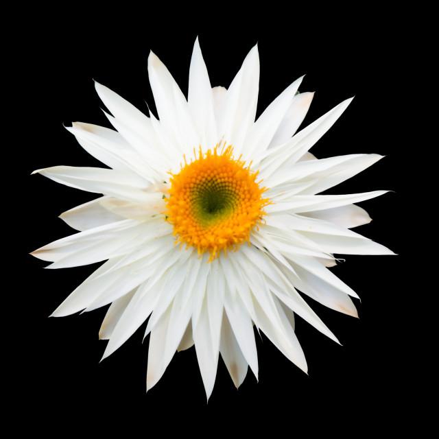 """""""White everlasting flower"""" stock image"""