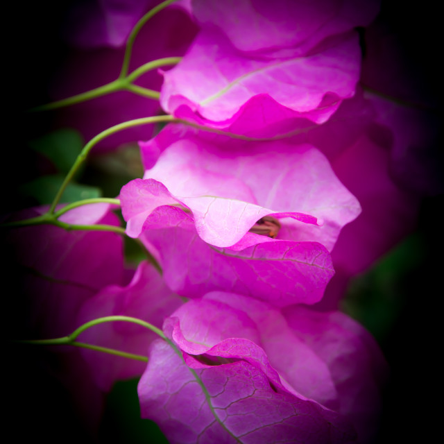 """Pink bougainvillea closeup"" stock image"