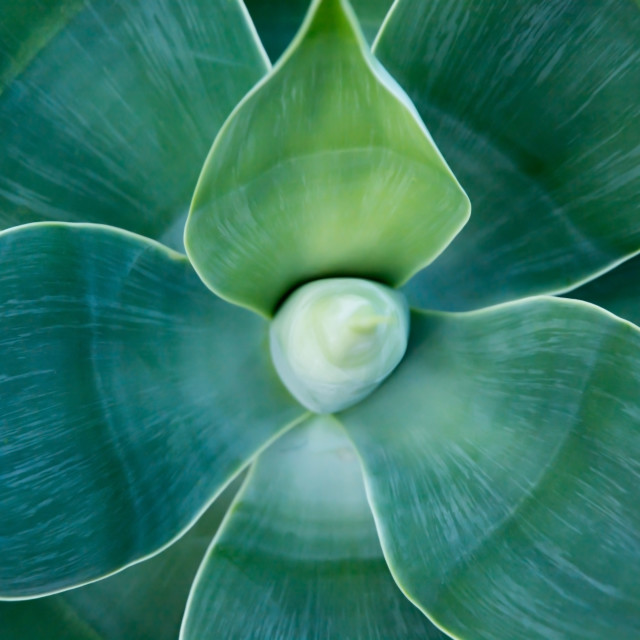 """Organic abstract Agave attenuata"" stock image"