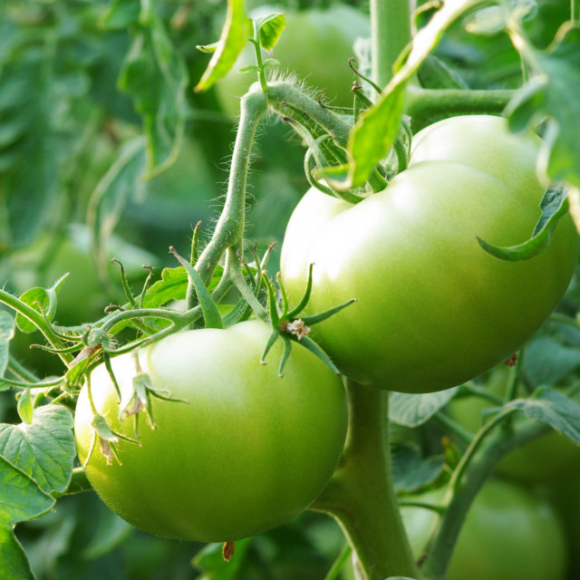 """Green tomatoes"" stock image"