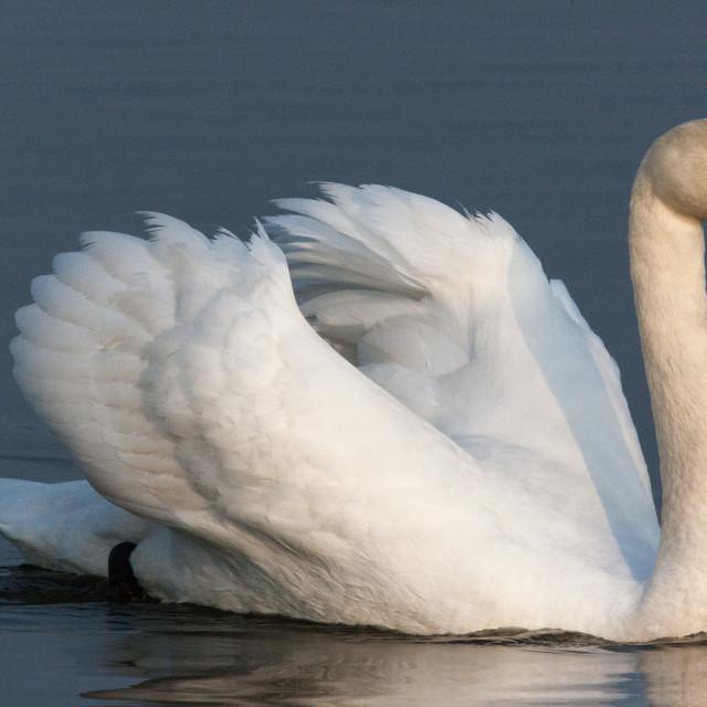 """White Swan"" stock image"