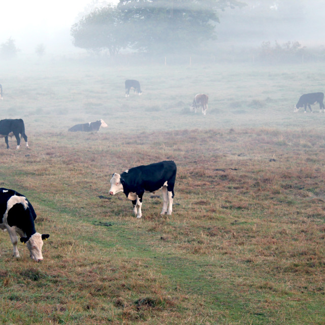 """Kenilworth Cows"" stock image"