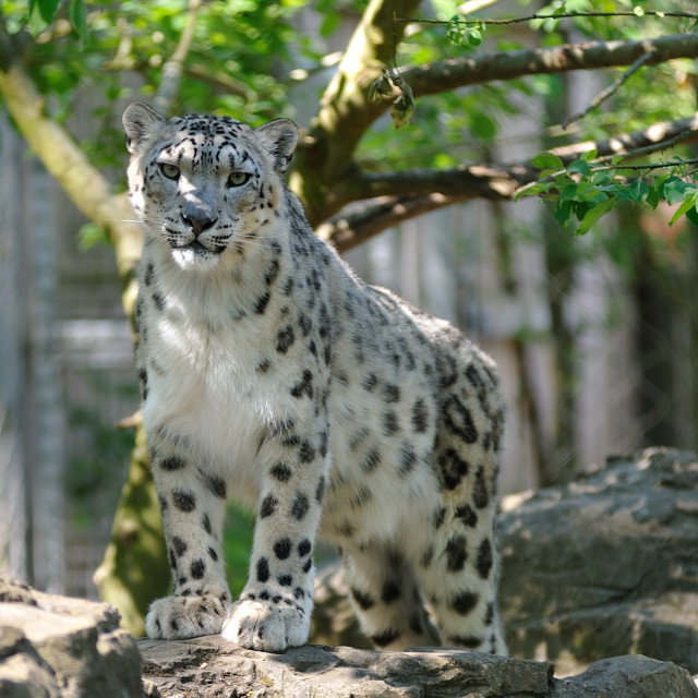 """Snow Leopard eyes"" stock image"