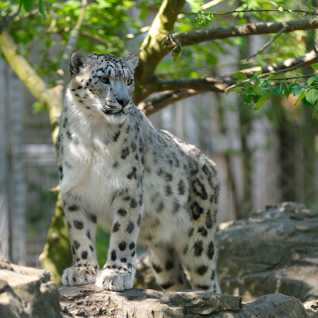"""Snow Leopard glance"" stock image"