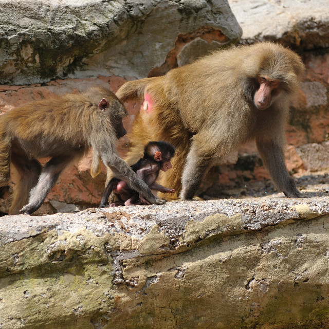 """Baboon family stroll"" stock image"