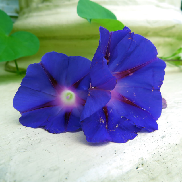"""""""Morning Glory Sisters"""" stock image"""