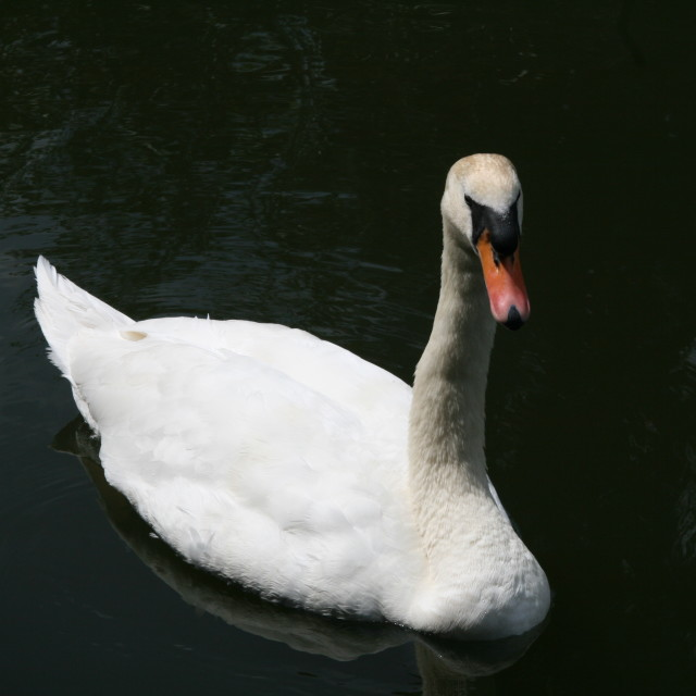 """Swan Lake"" stock image"