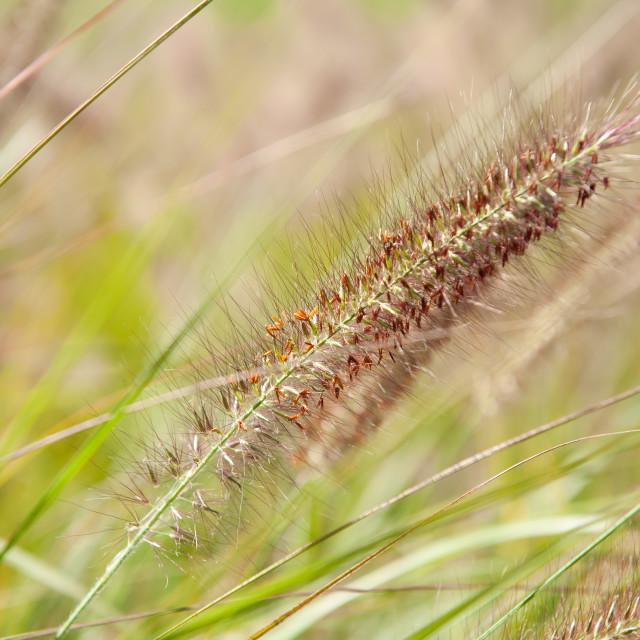 """Grass ears Pennisetum alopecuroides"" stock image"