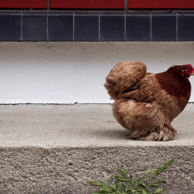 """Hen"" stock image"