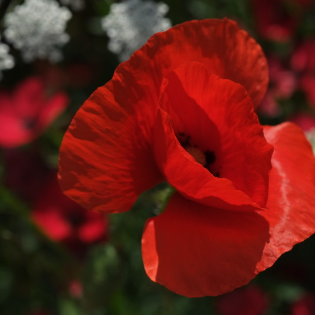 """Red Poppy"" stock image"