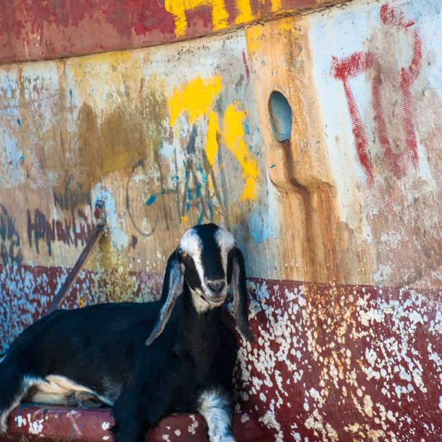 """""""Goat chillin' on boat"""" stock image"""