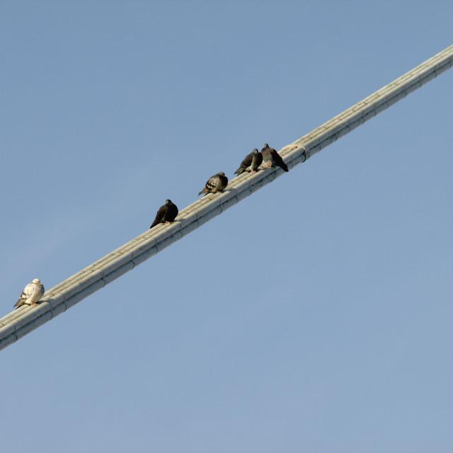 """pigeons resting"" stock image"