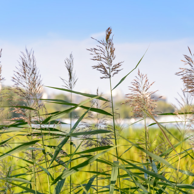 """""""Reed Flowers"""" stock image"""