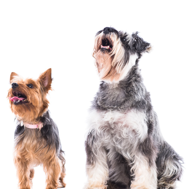 """Two alert dogs waiting for treats"" stock image"