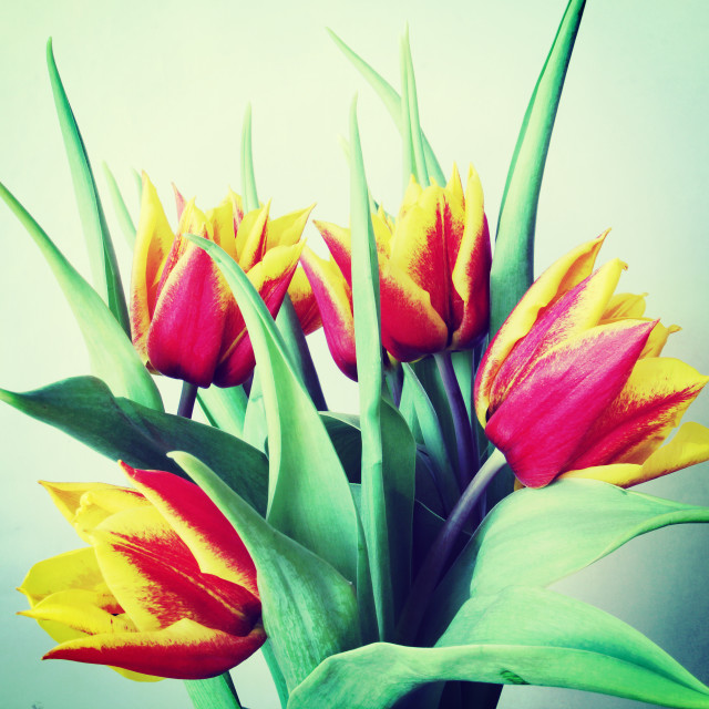 """Bunch of red and yellow tulips"" stock image"