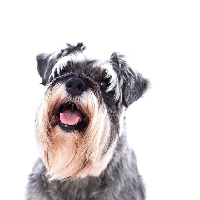 """""""Portrait of a beautifully groomed schnauzer"""" stock image"""