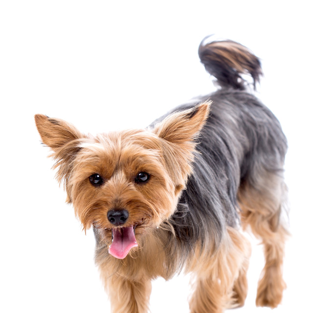 """Cute little yorkshire terrier approaching"" stock image"