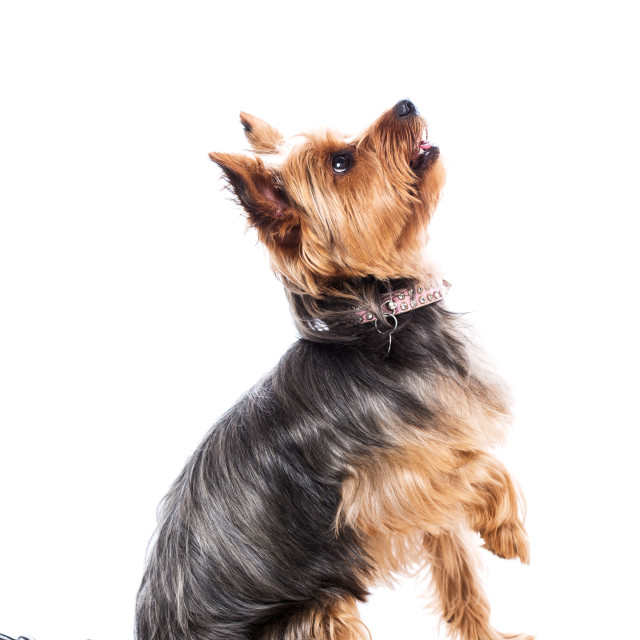 """Little yorkshire terrier waiting for food"" stock image"
