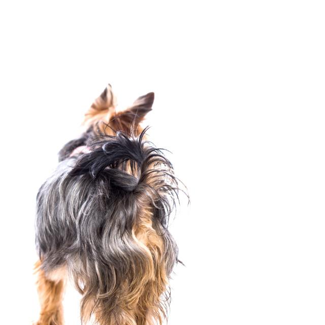 """Little Yorkshire terrier standing looking away"" stock image"