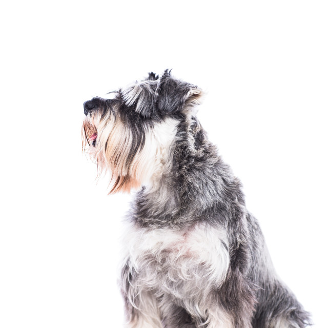 """Sitting schnauzer dog"" stock image"