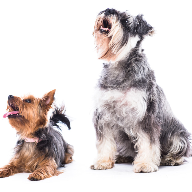 """Dogs looking up towards blank white copyspace"" stock image"