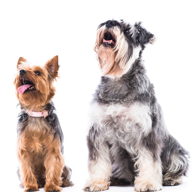 """Yorkie and schnauzer looking at blank copyspace"" stock image"