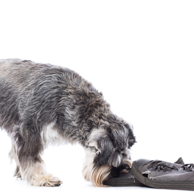 """Schnauzer investigating a pair of shoes"" stock image"