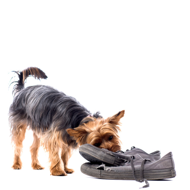 """Little Yorkie chewing on old trainers"" stock image"