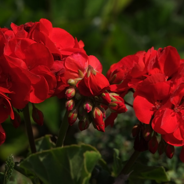 """Coffinswell geraniums"" stock image"