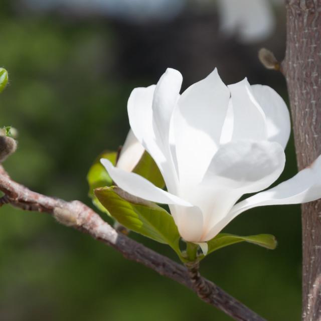 """White Magnolia flowers"" stock image"