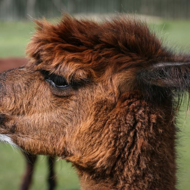 """Alpaca profile"" stock image"